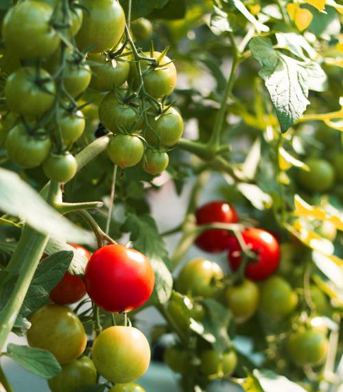 袋栽培トマト